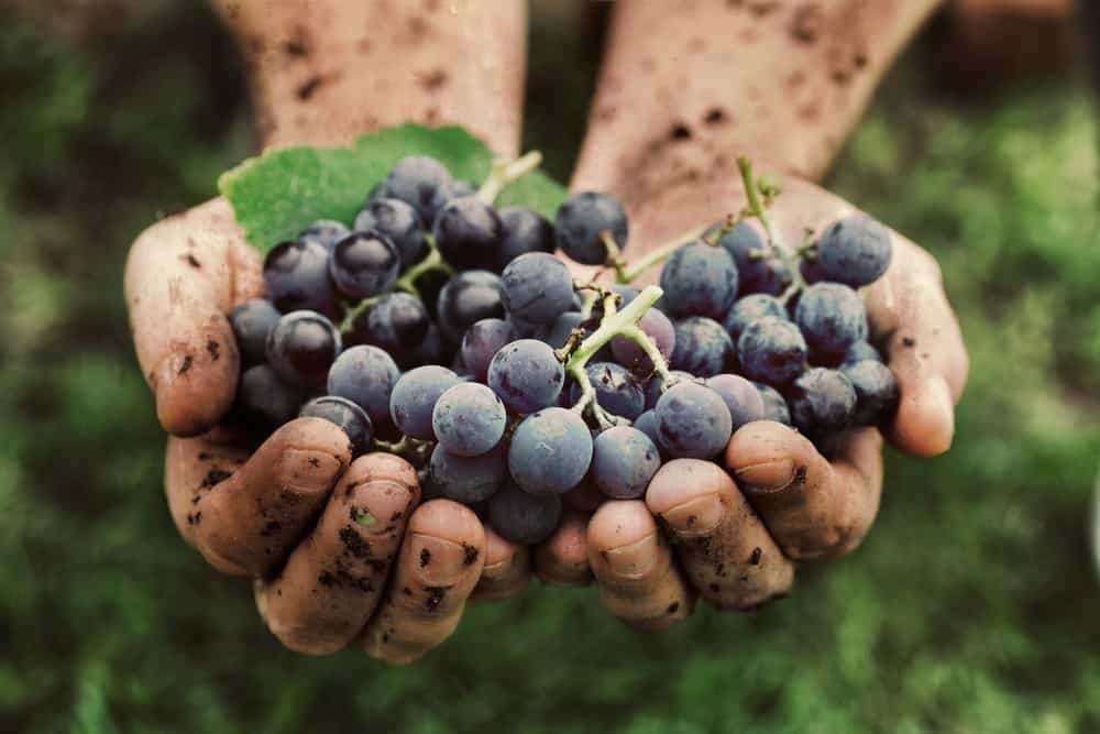 grape harvest winegrape 2019 harvest